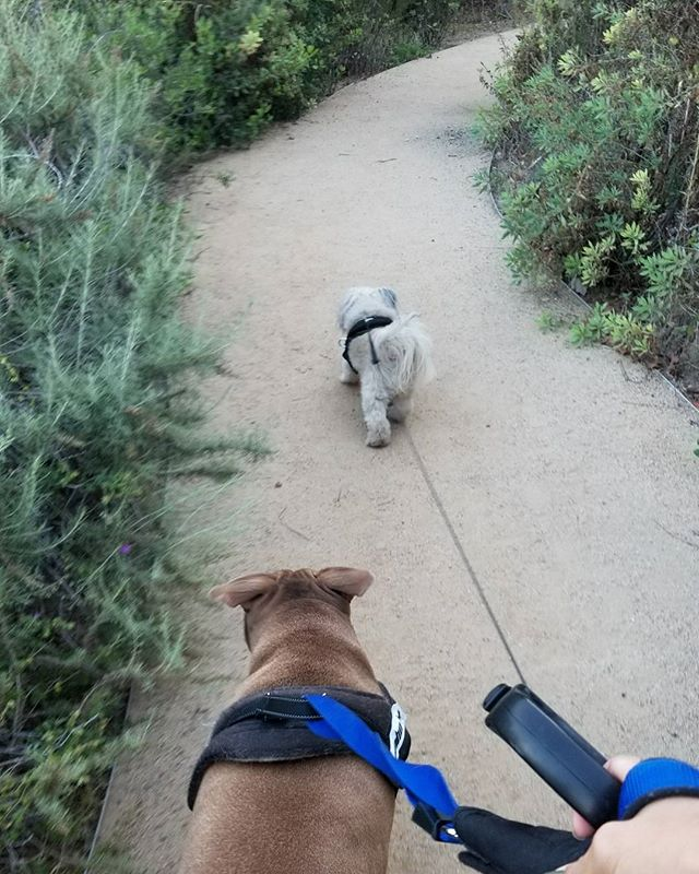 So tough walking two polar opposite personalities around by myself. One is happy and curious, the other chases animals and walks slow in a different direction. Nevertheless, I still  these crazy #dogs #pandasadventures