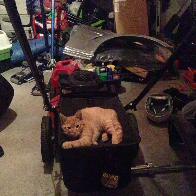 Silly #cat  lawnmowers are for amigos