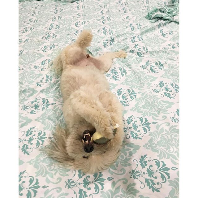 Because fresh sheets are fun to roll around in! #dogsofinstagram #cute