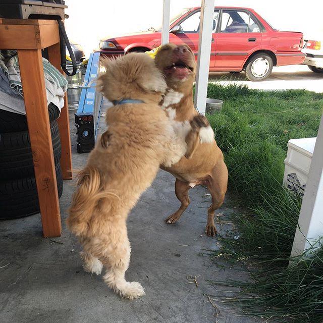 When you haven't seen you're bro in so long..... *Hugs* and *Dances* #dogsofinstagram @swayray @lindaaacruzzz @kcruz777