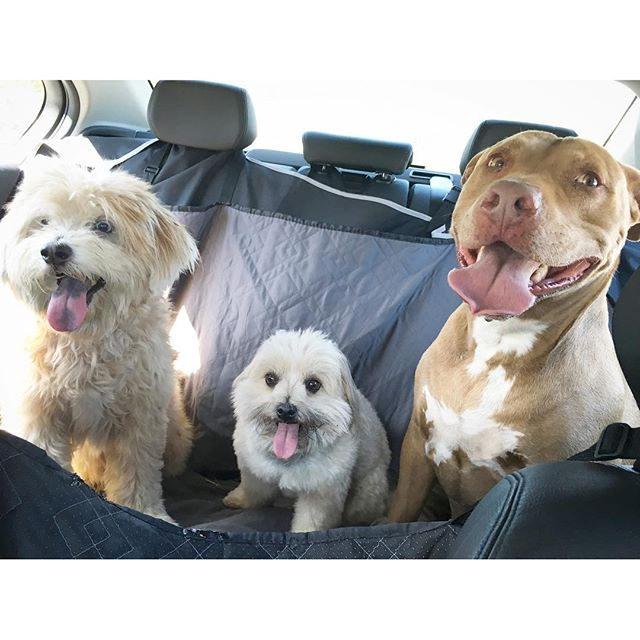The three musketeers were actually good in the back seat during their car ride. I am so proud often!! #doggie #carride #party