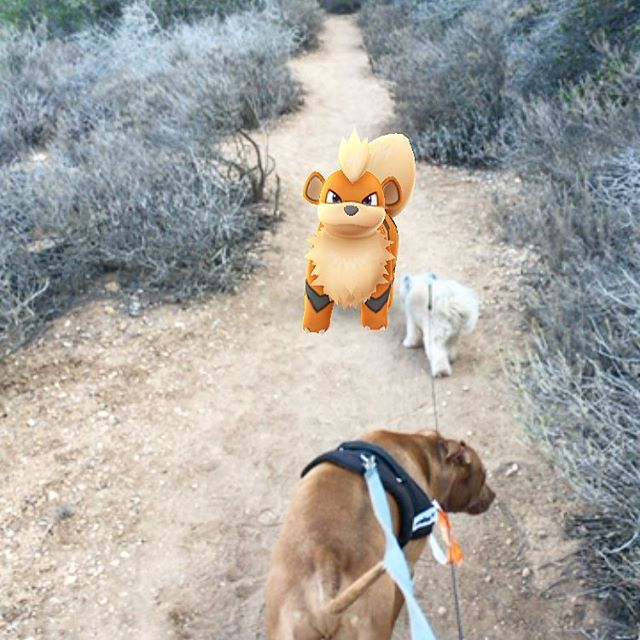 Growlithe appeared to give the #dogs motivation to finish the hike!! #pandasadventures 🏾