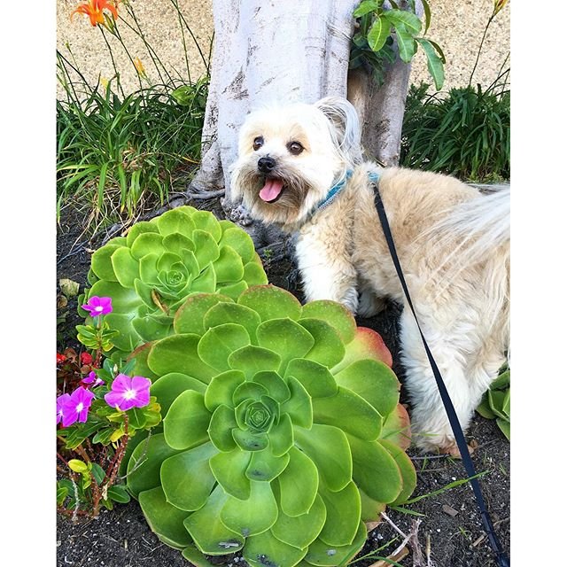 These suuculent looking flowers are nearly as big as Daisy!!! #pandasadventures #dog