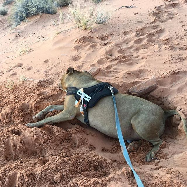 This boy @cookiemonsterpitbull dogs his own bed in the red sand then goes to sleep 😴🐕 in it! Dork!! #pandasadventures #dog