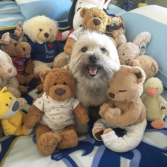 Daisy has been initiated into @bearuu bear gang!  #pandasadventures