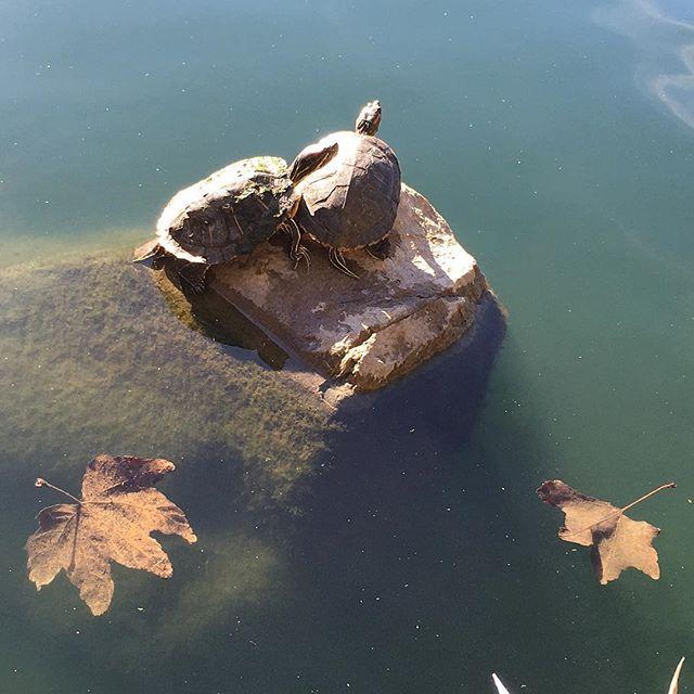 Turtle watching in the semi hood!  #pandasadventures