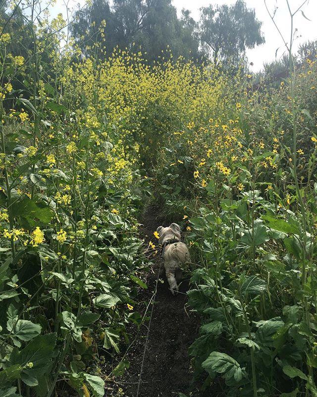 Daisy is literally walking into/through spring! #pandasadventures 😀